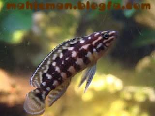 Julie_cichlid_-_Julidochromis_dickfeldi_image.JPG