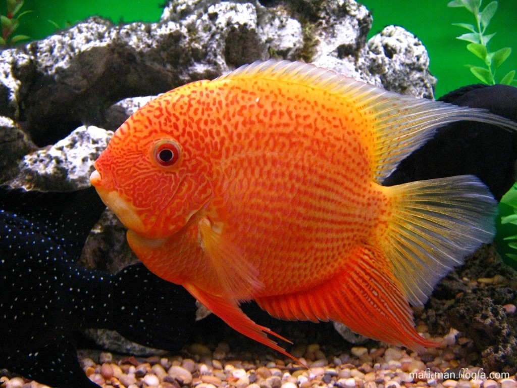 Red Spotted Severum 3.jpg