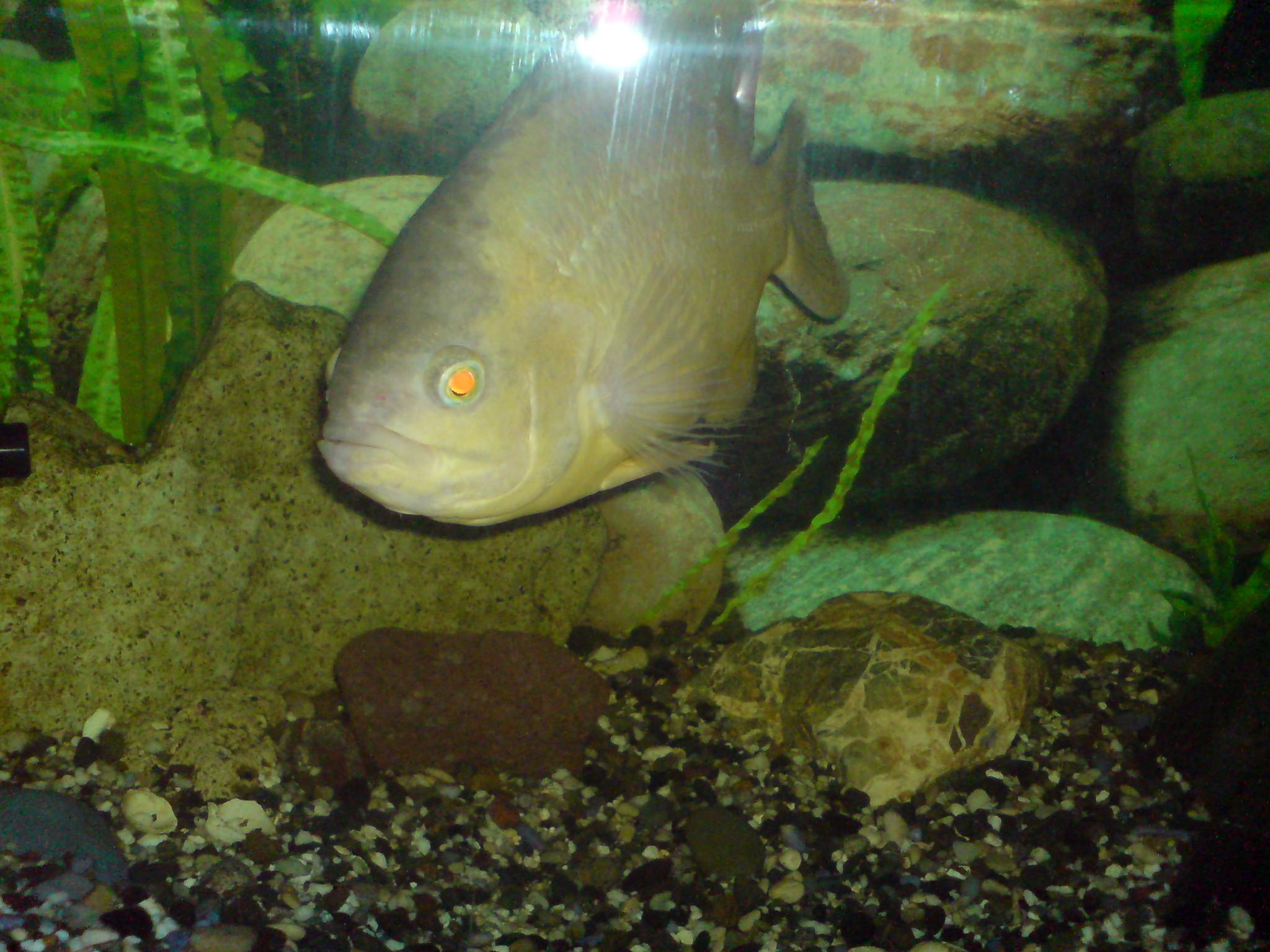 lemon oscar fish - photo #20