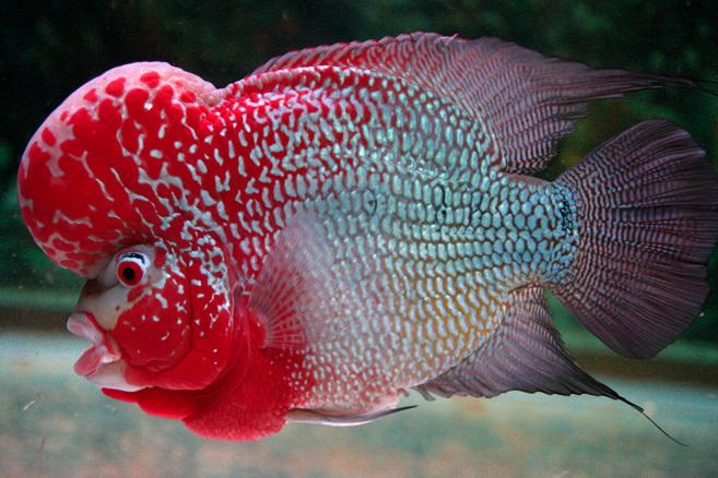 http://mahieman.persiangig.com/Fish/flowerhorn7.jpg