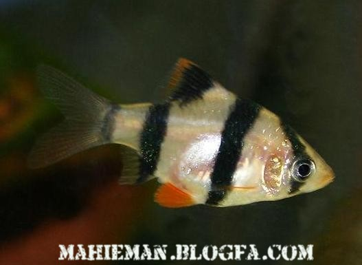اشنایی و شناخت از ماهی اكواریومی بارب ببری (Tiger Barb)