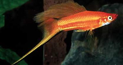 fish_Xiphophorus_helleri__Red_Hi-FinSwordtail_ - معرفی انواع ماهی ها در این بخش - متا