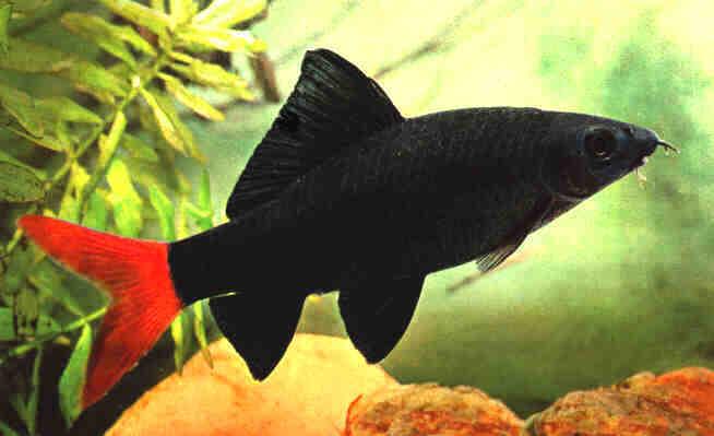 redtail3 - معرفی انواع ماهی ها در این بخش - متا